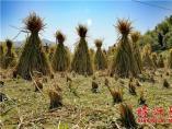杨乐:稻草之念